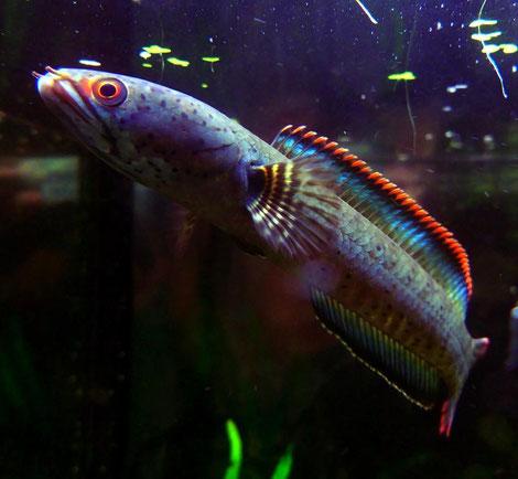 Schönes Exemplar von Channa spec. Redfin. Foto by Paul Jones, Wales.