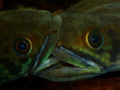 Nicht immer geht alles friedlich zu in einem Channa Becken, man muß seine Fische immer gut im Auge haben. Foto by Paul Jones,Wales.