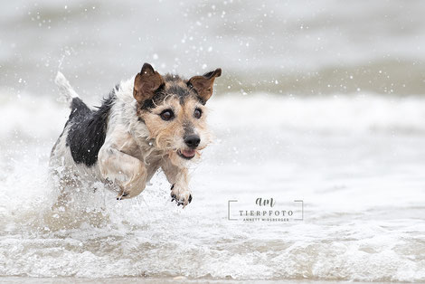 Parson Terrier beim Fotoworkshop