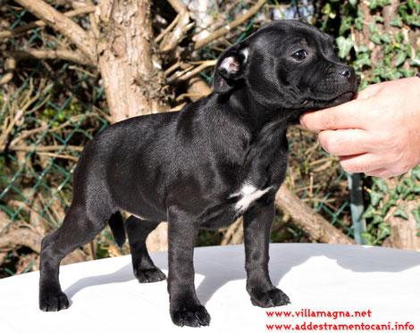 cuccioli-staffordshire-disponibili