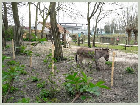 Beginfase van hoefbevangenheid: de ezel loopt op zijn tenen