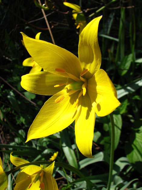 tulipe-des-vignes-dans-le-vignoble-de-Vouvray-Val-de-Loire