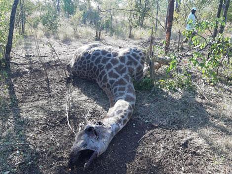 Gewilderte Giraffe