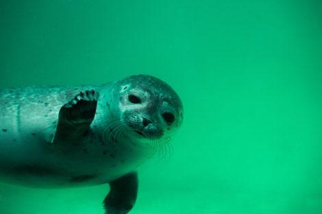 Seehund unter Wasser