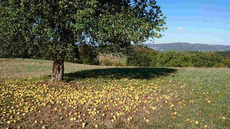 Apfelbaum im Odenwald