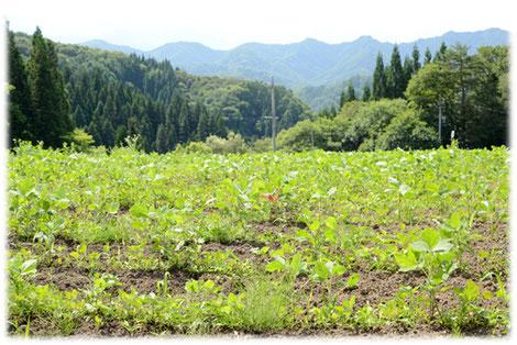 小川村の有機農場で栽培される西山大豆
