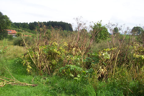 Engelwurzfeld im Garten von Artemisia