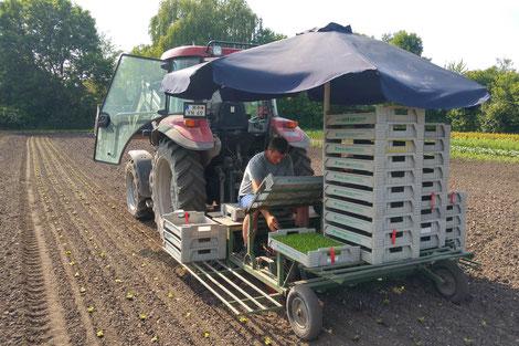 frischer Salat direkt vom Feld