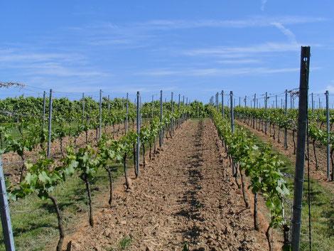 Weinfelder auf der Goldkuppe