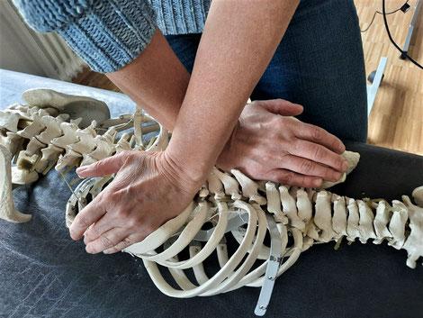 Unilaterale Mobilisation der BWS über eine Separationstechnik in Bauchlage am Skelett. Mit freundlicher Genehmigung einer Kursteilnehmerin