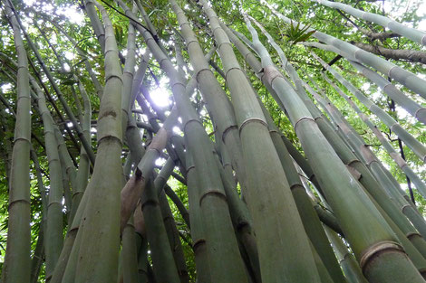 Bambus, Sumatra, Indonesien, 2013