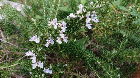 庭のローズマリーの花