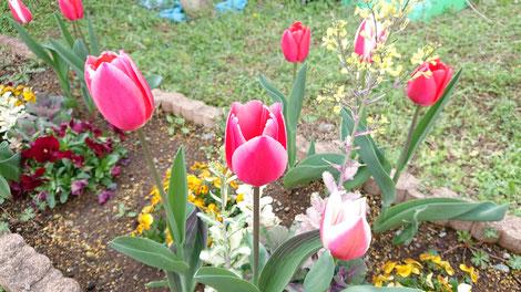 庭の花壇のチューリップが咲きました