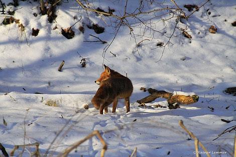 Westerwälder Fuchs