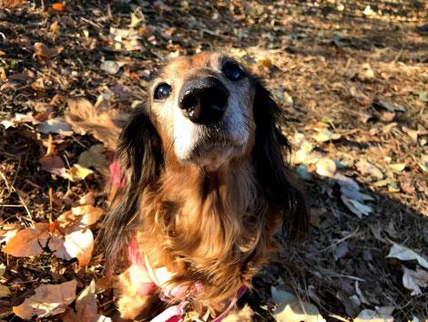 愛犬ドルチェ、昨年15歳になりました