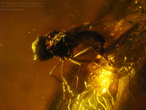 Inclusion in amber:   Diptera, Dolichopodidae