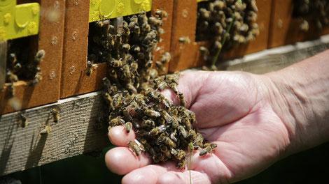 Bis auf wenige Ausnahmen im Südwesten des Landes ist das Honigjahr deutlich unterdurchschnittlich