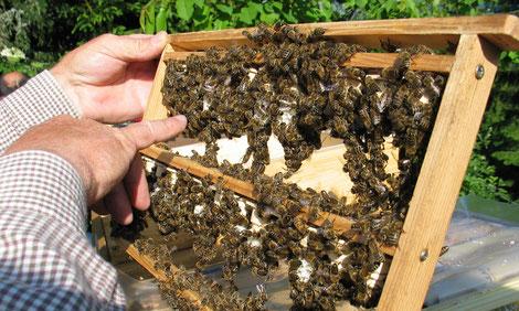 Die Carnica ist widerstandsfähig gegen Krankheiten, verträgt auch rauheres Klima gut, bringt eine gute Honigleistung, ist schwarmträge bei entsprechender Betriebsweise, ist sanftmütig und kann in bebauten Gebieten gut gehalten werden.