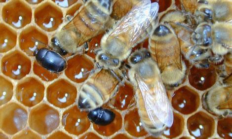 """Der """"Kleine Beutenkäfer"""" – als Schädling in Süditalien bereits durch großen Schaden berüchtigt – ist auch für unsere Bienen eine Gefahr. Der fünf Millimeter kleine Schädling nistet sich in den Beuten ein, paart sich, und legt dann mehrere hundert Eier ab."""