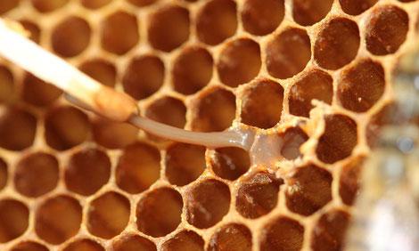 Amerikanische Faulbrut, Zerstörung der Bienenbrut durch eine bakterielle Erkrankung.
