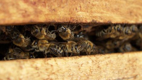 Die Biene als Therapeutin: Spezialvorträge am 24.02.2020  im Bildungshaus Kloster Wernberg
