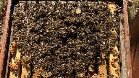 Solche Bilder lassen die Imkerherzen höherschlagen: Starke Carnica-Reinzucht-Bienenvölker