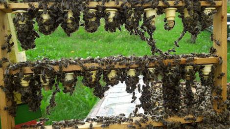 Carnica-Königinnenzuchtkurs für Neueinsteiger findet 2019 an 3 Terminen statt