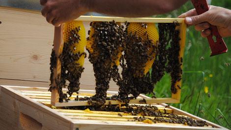 Bio-Imkereien sind heute meist Vorzeigebetriebe in allen Sparten der Bienenhaltung