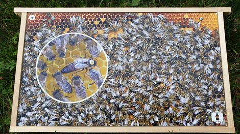 2 mm bedruckte und aufgeschraubte Aluverbundplatten mit Abbildungen aus dem Bienenvolk