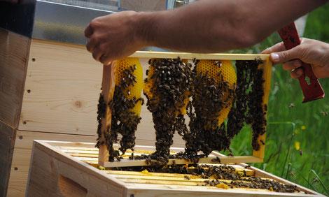 Naturwabenbau ist in der ökologischen Imkerei ein integrativer Bestandteil der Betriebsweise
