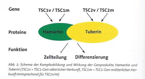Schema der Komplexbildung und Wirkung der Genprodukte Hamartin und Tuberin