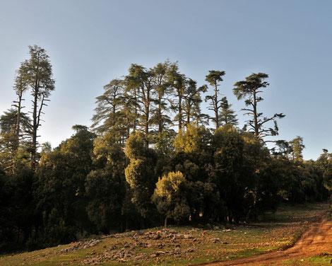 Zedern im Forêt des Cèdres, Offroad - Reise Marokko mit Teambuctou