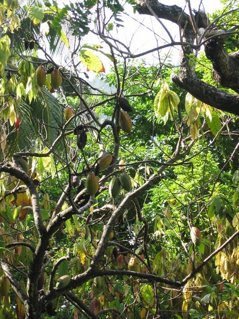 Hier wächst der SoloCoco Kakao, Solococo schickt Kinder in die Schule und nicht zur Arbeit