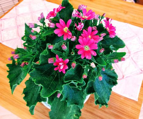 サイネリアの花