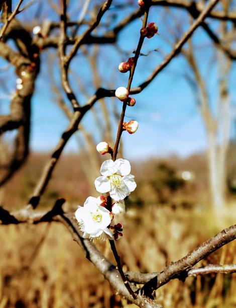 白い梅の花とつぼみ