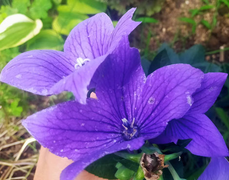青紫のキキョウが咲きました。