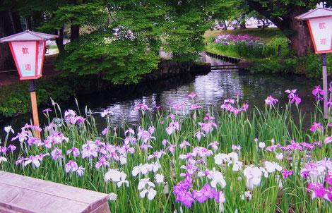池のほとりに咲く花しょうぶ@長井市のあやめ公園