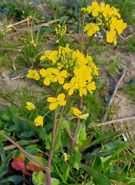 枯草の中から咲いた菜の花