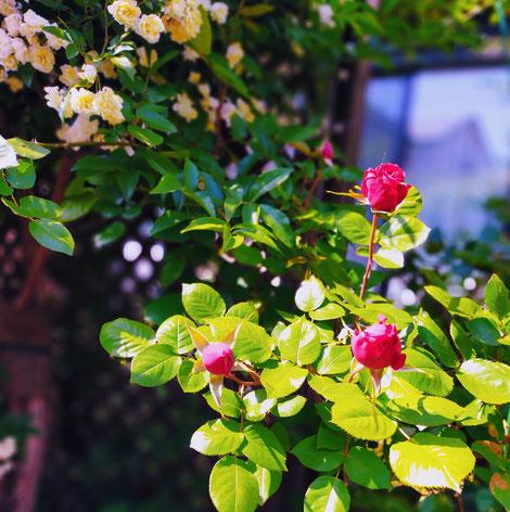 白いモッコウバラを背景につぼみの赤いバラ