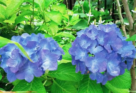 青いあじさいの花