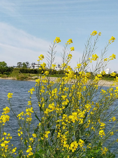 青空をバックに川沿いに咲く菜の花