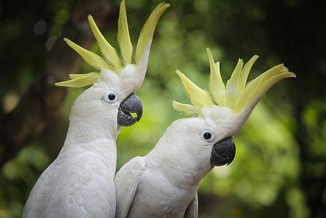 Kakadus, Bild steht in keinem Zusammenhang zu Lanius