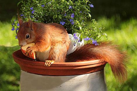 Eichhörnchen an einem Apfel schmausend