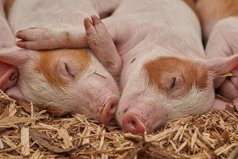 Junge Schweine in tiergerechtem Stall