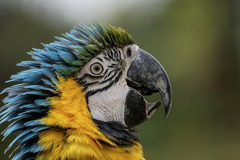 Papagei, Bild hat nichts mit Geniestreich zu tun
