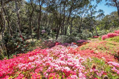 Auch die vielen Naturparks (hier Rhododendron-Gardens in Blackheath) sind einen Besuch wert