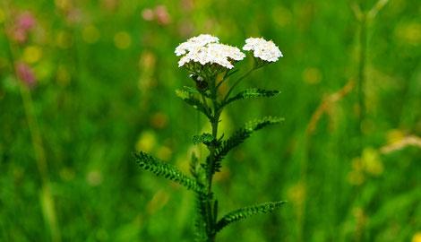 Blühende Schafgarbe - tolles Gewürz- und Heilkraut