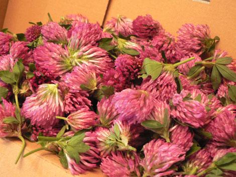 Rotklee Blüten