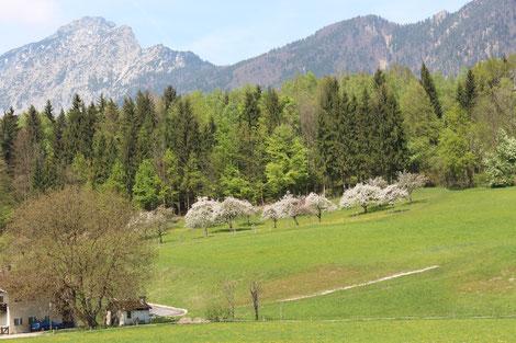 Blühende Streuobstwiese vor Bergkulisse im Berchtesgadener Land