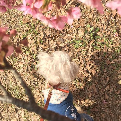 河津桜 看板犬